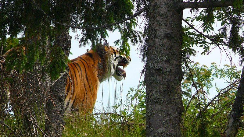 Mâncătorii de tigri