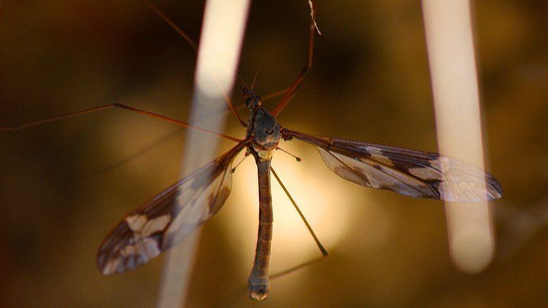 Cu îngăduinţă despre ţânţari